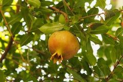 在树的唯一未成熟的石榴果子 免版税库存图片