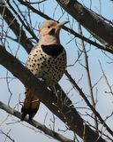 在树的啄木鸟 库存照片