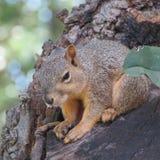 在树的困灰鼠 免版税库存图片