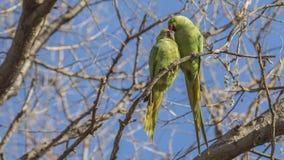 在树的圆环收缩的长尾小鹦鹉 免版税图库摄影