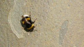在树的土蜂 库存照片