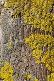 在树的地衣 免版税库存照片