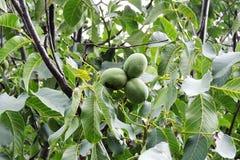 在树的坚果 库存图片