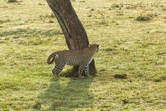 在树的基地的一头豹子 库存图片