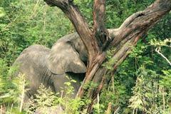 在树的大象树干 免版税库存图片