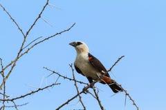 在树的大hangbird Tarangire,坦桑尼亚 库存图片