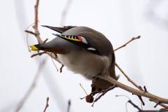 在树的太平鸟 免版税库存照片