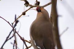 在树的太平鸟 免版税库存图片