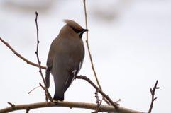 在树的太平鸟 库存图片