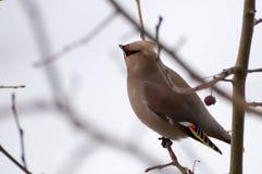 在树的太平鸟 库存照片