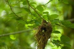 在树的女性银breasted Broadbill 免版税图库摄影