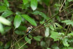 在树的女性银breasted Broadbill 免版税库存图片