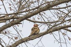 在树的女性黄色有羽轴的忽悠 库存照片