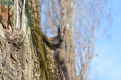在树的好奇灰鼠 免版税库存图片