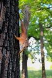 在树的好奇灰鼠 免版税库存照片
