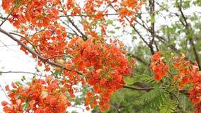 在树的孔雀花 影视素材
