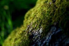 在树的宏观青苔 免版税库存图片