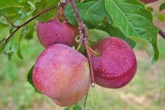 在树的富士红色或桃红色苹果 库存照片