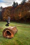 在树的寒鸦 免版税库存图片
