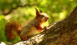 在树的小灰鼠 免版税库存照片