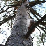 在树的小灰鼠 库存照片