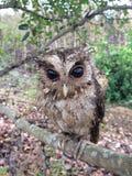 在树的小猫头鹰 免版税库存照片