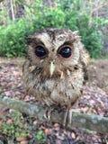 在树的小猫头鹰 免版税库存图片
