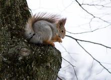 在树的小的灰鼠 免版税库存照片