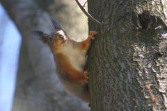在树的小的饥饿的灰鼠 免版税库存图片