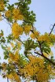 在树的小的黄色花从更低的看法有蓝天背景|泰国自然花卉|季节性的夏天 库存照片