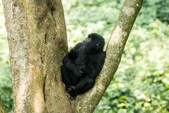 在树的山地大猩猩 库存图片