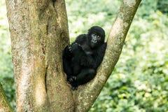 在树的山地大猩猩 库存照片