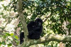 在树的山地大猩猩 免版税图库摄影