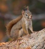 在树的布朗灰鼠 免版税库存照片