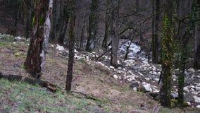 在树的常春藤在生长在树的常春藤有薄雾的森林特写镜头反对舒展的树干和的分支背景  股票录像