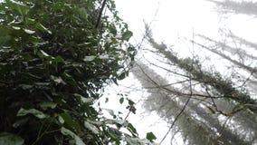 在树的常春藤在生长在树的常春藤有薄雾的森林特写镜头反对舒展的树干和的分支背景  影视素材