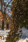 在树的常春藤 免版税库存照片