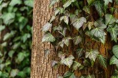 在树的常春藤 免版税图库摄影