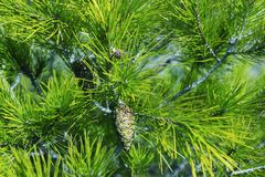 在树的年轻杉木锥体 背景绿色自然 库存图片