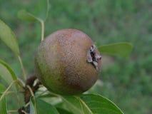 在树的年轻梨 免版税库存图片