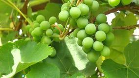 在树的年轻绿色葡萄莓果 未成熟的束绿色葡萄 股票视频
