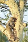 在树的幼小橄榄色的狒狒 免版税库存图片