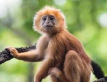 在树的幼小红色猴子 库存图片