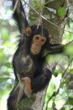 在树的幼小黑猩猩 库存图片