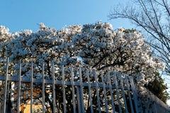 在树的开花白花在钢篱芭,春天天气后 免版税图库摄影