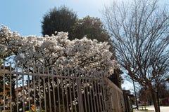 在树的开花白花在钢篱芭,春天天气后 免版税库存照片