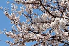 在树的开花的佐仓花 库存图片