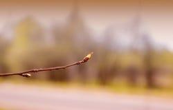 在树的开花的芽,美好的背景 免版税图库摄影
