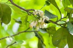在树的开花的葡萄柚花 图库摄影
