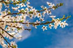 在树的开花花在春天 免版税库存图片